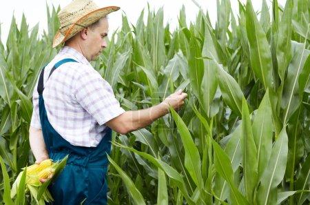 Farmer inspecting corn cobs