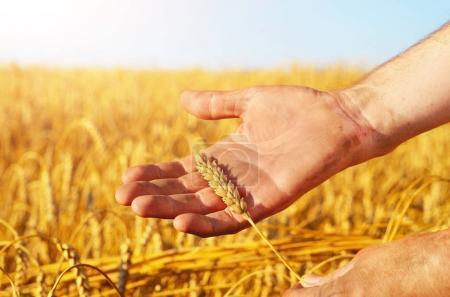 wheat ears in farmer's hands