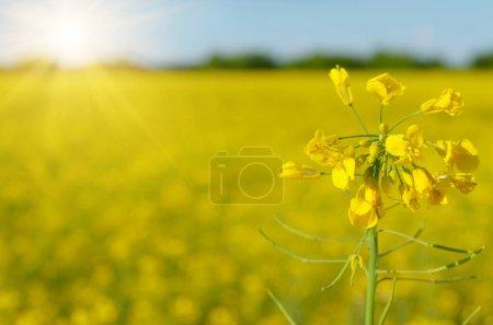 Photo pour Champ de canola jaune vif sous le ciel bleu journée d'été, mise au point sélective, flou - image libre de droit