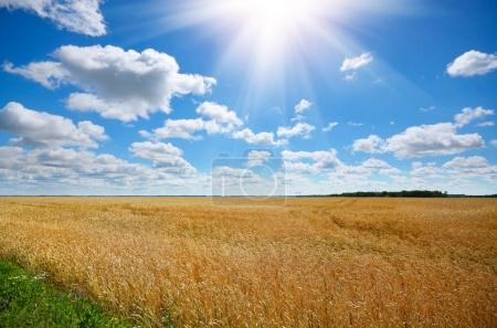 Wheat field in sunny day under blue sky with clouds