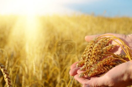 Photo for Close-up photo of farmer holding Wheat ears in hands. Harvest concept - Royalty Free Image