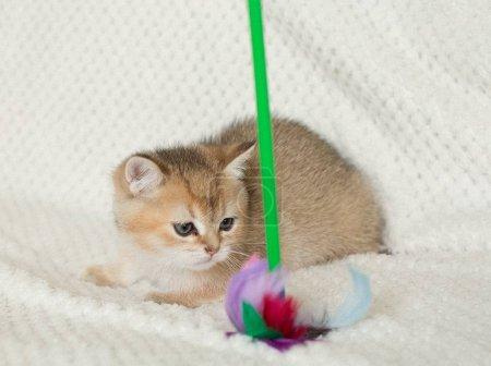Cute shorthair cat kitten on background