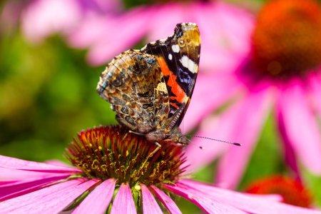 Photo pour Gros plan papillon paon oeil assis sur echinacea fleur - image libre de droit