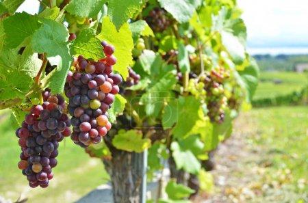 green vineyards at Neuchatel lake