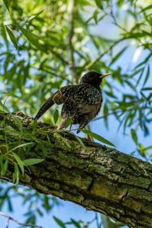 Photo for European starling on the branch. - Royalty Free Image