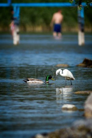 Photo for Two waterbird (little egret and wild duck) on the lake Balaton in Hungary. - Royalty Free Image