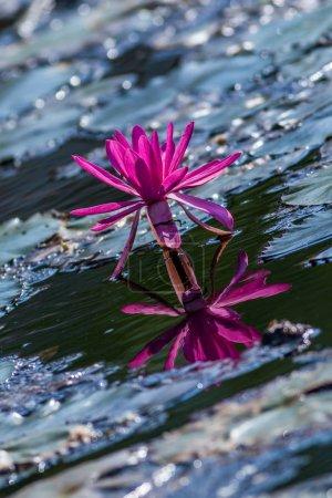 Photo pour Nénuphar rose du lac. - image libre de droit