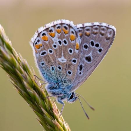 Photo pour Gros plan d'un beau papillon (Bleu commun, Polyommatus icarus ). - image libre de droit