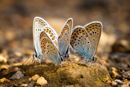 Muchas mariposas con alas de gossamer bastante descansando juntas