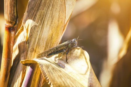 Large, gray-green specimen locust sits on a dry piece of corn in the field