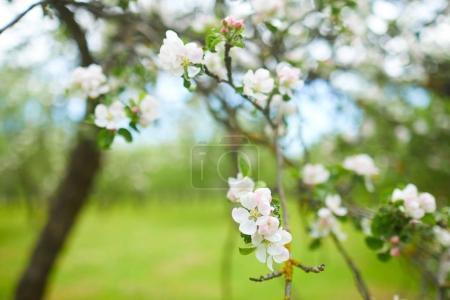 Photo pour Branche de fleur de pomme gros plan - image libre de droit