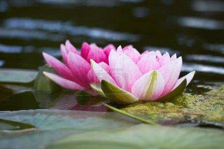 lotus flowers in pond