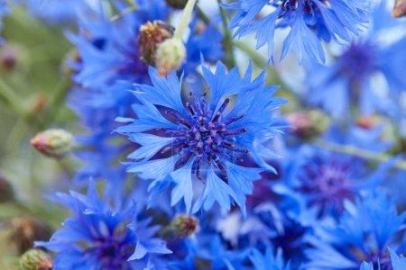 Photo pour Belles fleurs bleues de bleuets, gros plan - image libre de droit