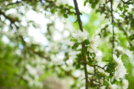 Photo pour Branches de pommier à fleurs sur fond naturel - image libre de droit