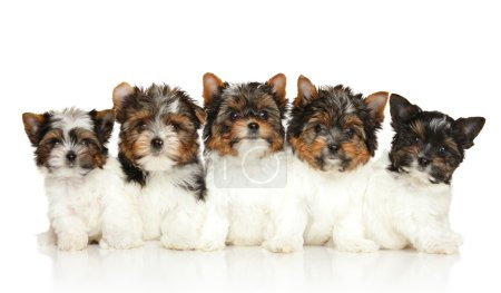 Group of Biewer Yorkie puppies