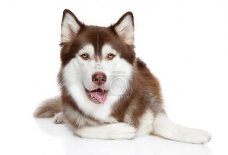 Happy hasky dog