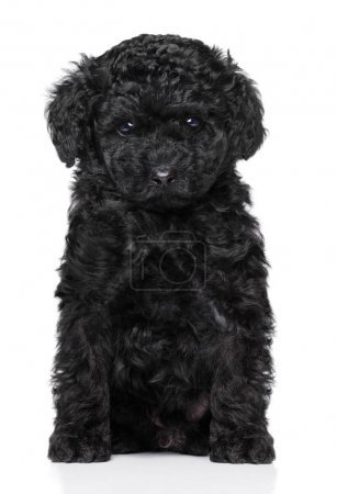 Toy poodle puppy on white