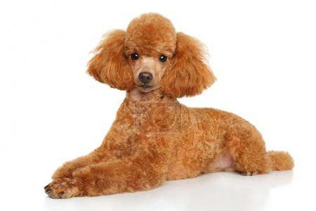Toy poodle puppy lying on white