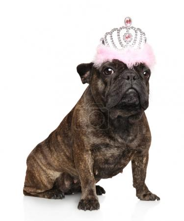 French bulldog with a crown