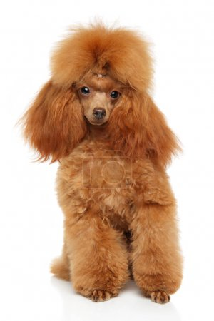 Toy Poodle portrait on white