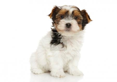 Bieweryork puppy on white background