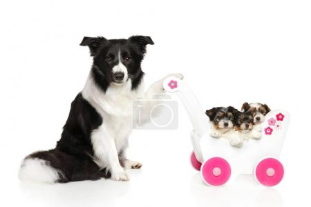 Border Collie keeps baby stroller with puppies
