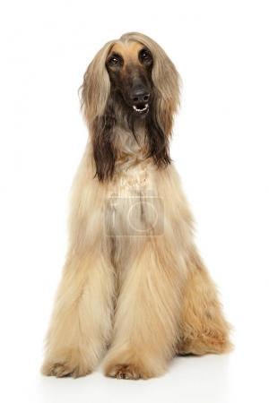 Adorable Afghan hound sits