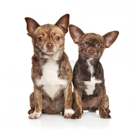 Chihuahua puppy and dog on white