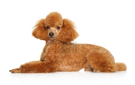 Red Toy Poodle puppy lying on white background