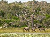 Sloni rodina v Yala National Park