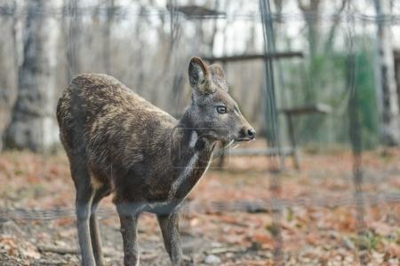 Siberian musk deer hoofed animal rare pair