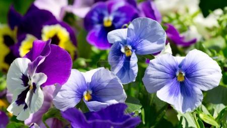 Photo pour Gros plan de la fleur de pansy poussant dans le jardin - image libre de droit