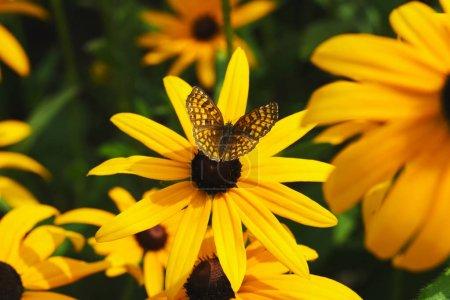 фото бабочки на желтом цветке