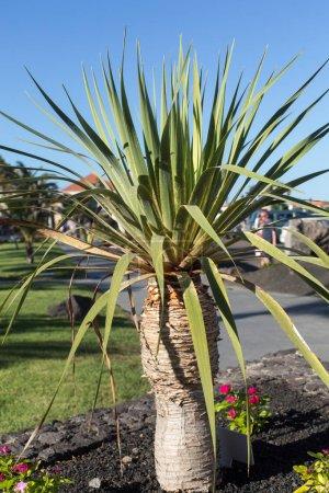 Agave plant in garden. Fuerteventura, Canary Island , Spain