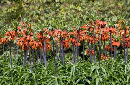 Photo pour Floraison printanière de l'orange Fritillaria imperialis dans le jardin - image libre de droit