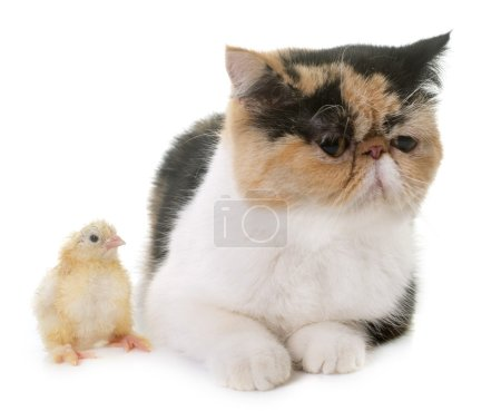 tricolor exotic shorthair cat and chick