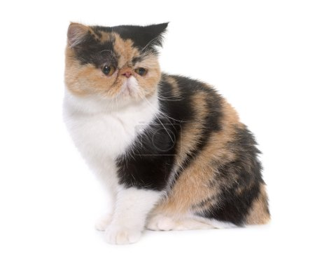Tricolor exotic shorthair cat in front of white ba...