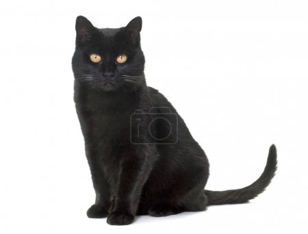 Photo pour Chat noir en face de fond blanc - image libre de droit