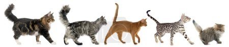 Photo for Five walking cats in front of white background - Royalty Free Image