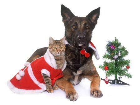 christmas malinois and cat