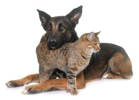 belgian shepherd malinois and cat