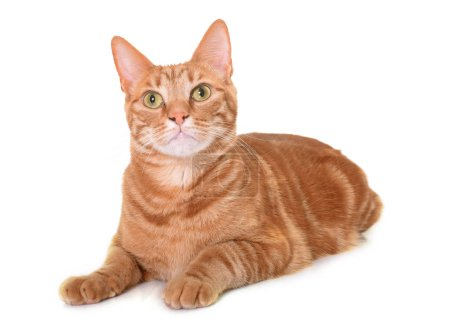 ginger cat in studio