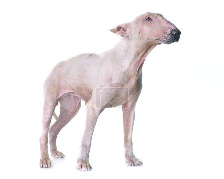 Photo pour Fin taureau terrier en face de fond blanc - image libre de droit