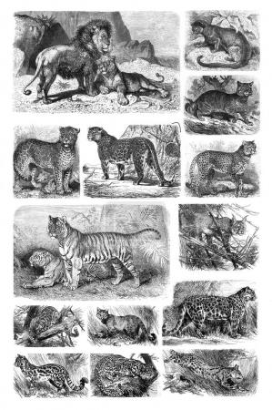 Illustration of predatory cats on