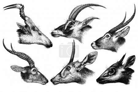 African antelope on a white