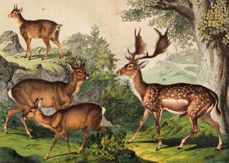 Foto de Dominio público. Del libro: Historia natural del reino animal en imágenes. San Petersburgo 1880 - Imagen libre de derechos