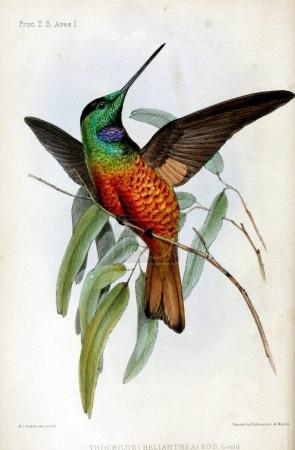 Photo pour Colibri. Proceedings of the Zoological Society of London 1848 - image libre de droit