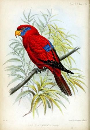 Photo pour Les illustrations de perroquets sur fond blanc. Proceedings of the Zoological Society of London 1850 - image libre de droit