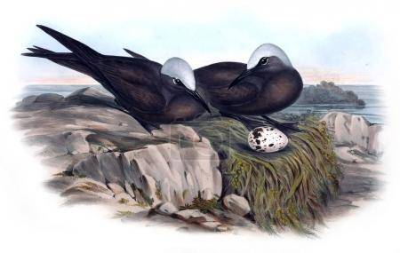Illustration of bird. The birds of Australia, supp...