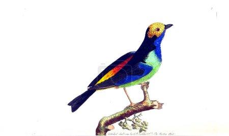 Foto de Ilustración del animal. Miscelánea el naturalista, o figuras coloreadas de los objetos naturales - Imagen libre de derechos